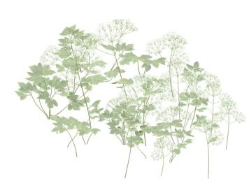 Elder Flowers2.jpg